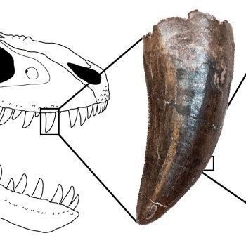 University of Toronto study on Tyranasaur teeth show they are shaped like steak knives