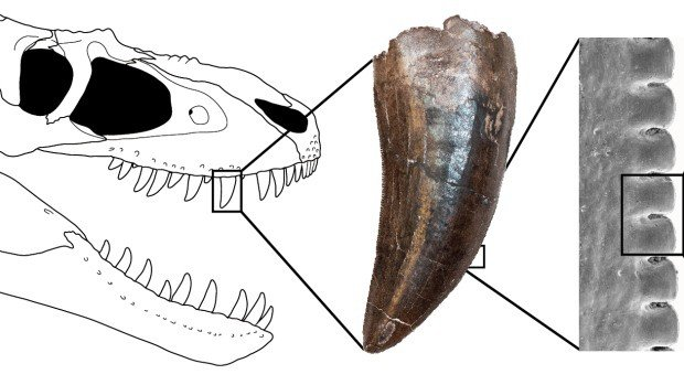 University of Toronto study on Tyrannosaur teeth show they are shaped like steak knives
