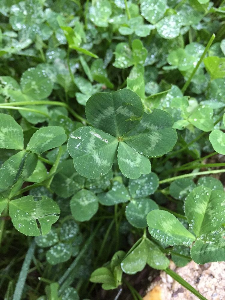 growing clover seeds st pattys science wikicommons