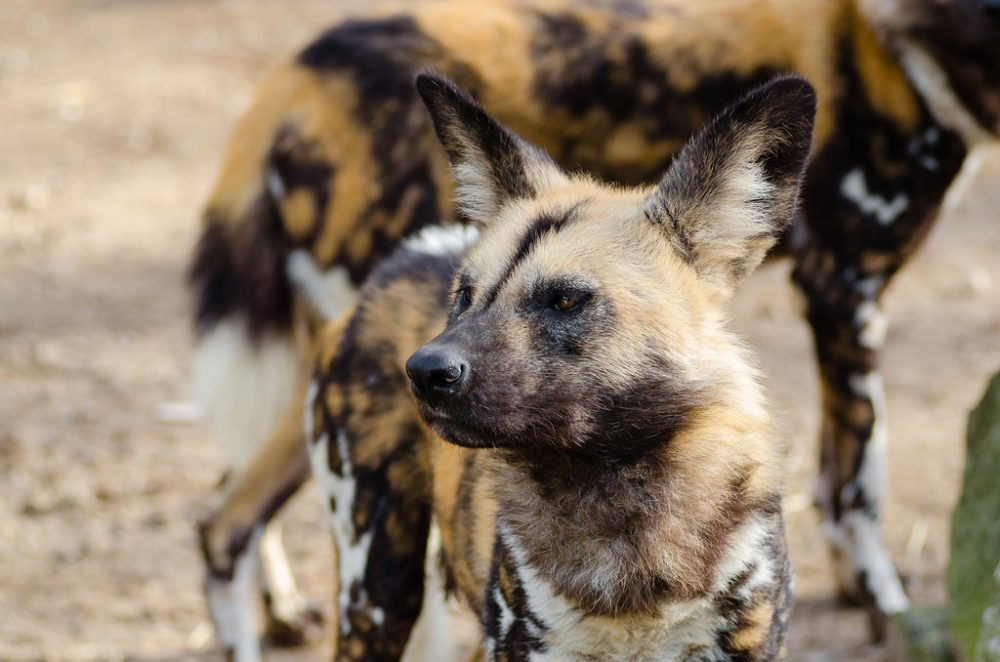 African wild dog Mattheis Flickr