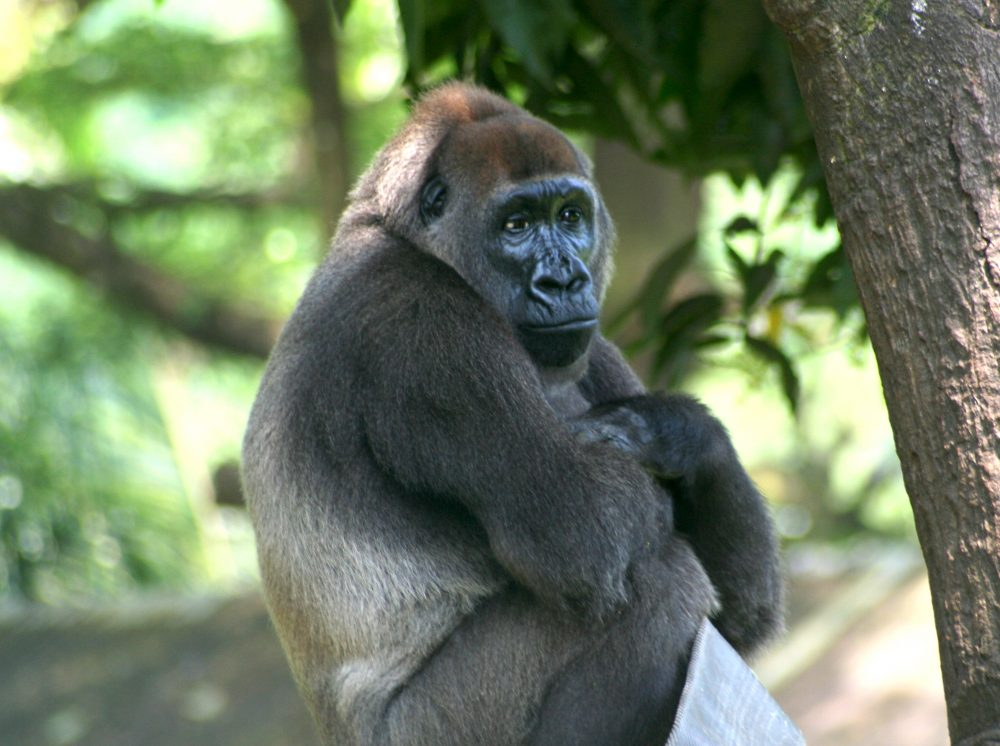 Endangered cross river gorilla