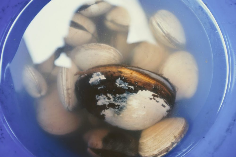 clam dissection bucket of clams harvested in the pacific northwest